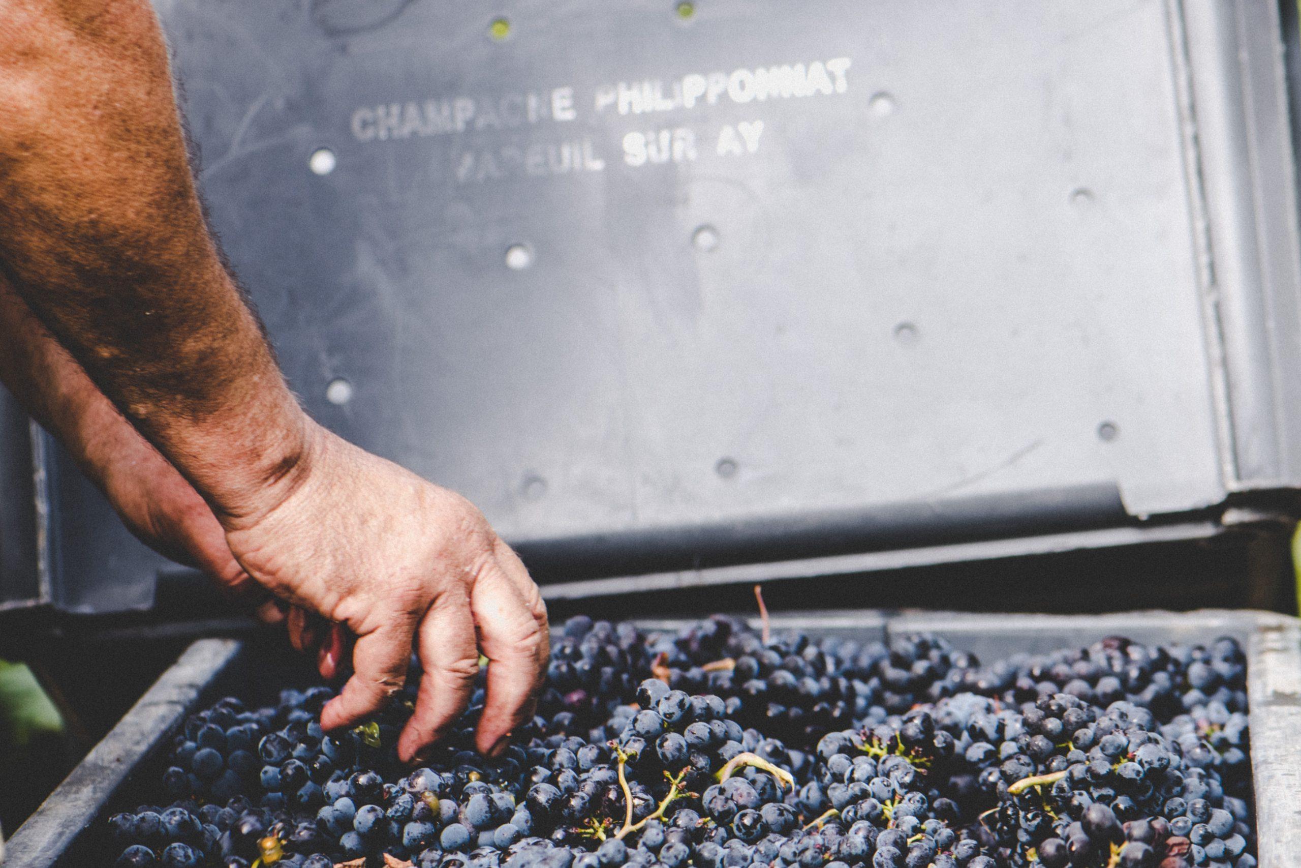 Coteaux Champenois Mareuil Rouge - Champagne Philipponnat